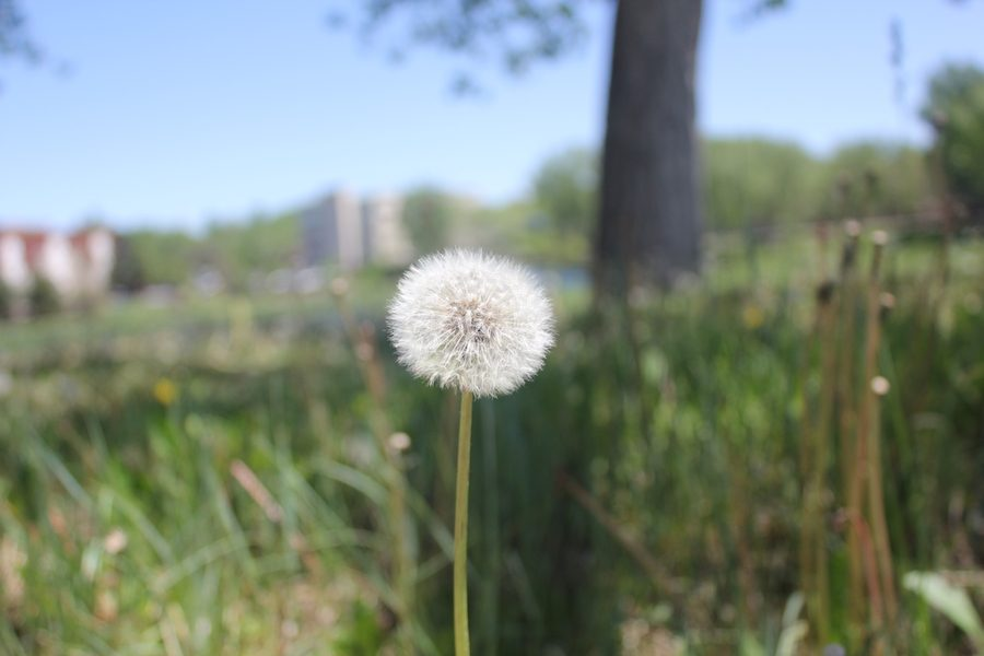 Dandelion outside of the TEC campus
